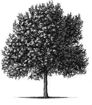 tree (ash)