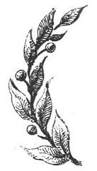 branch (olive)