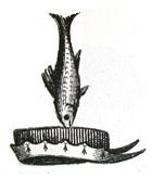 gurnard fish