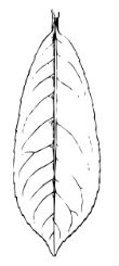leaf (laurel)