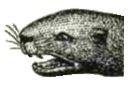 otter's head