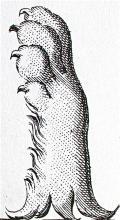 bear's foot