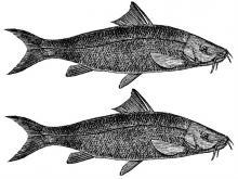 barbels (2)