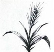 wheat, ear of
