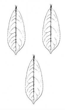 leaves (laurel) (3)