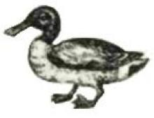 duck (shoveller)