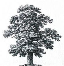 tree (oak)