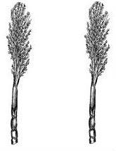 sugar canes (2)