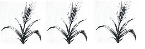 wheat, ears of (3)